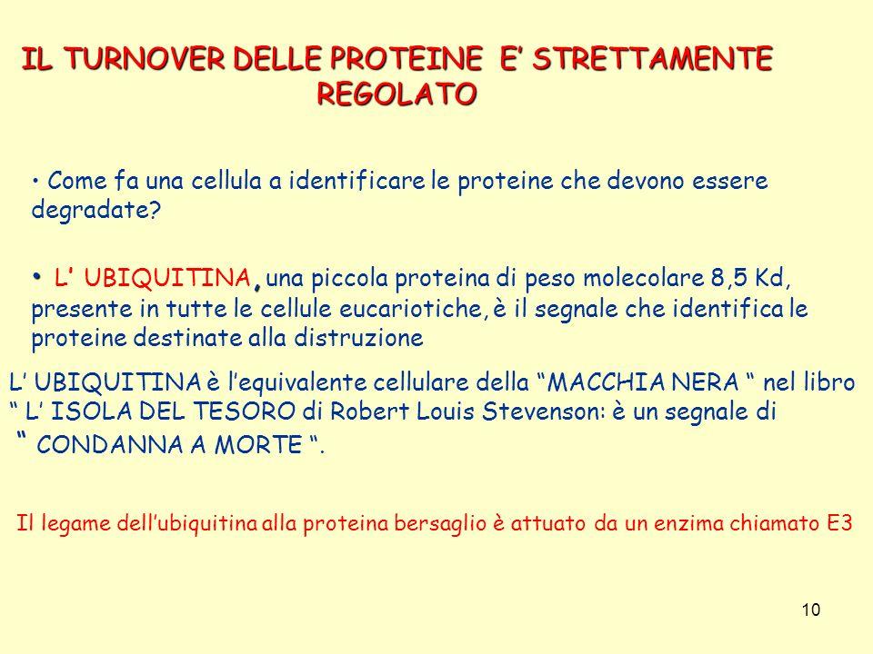 10 IL TURNOVER DELLE PROTEINE E STRETTAMENTE REGOLATO Come fa una cellula a identificare le proteine che devono essere degradate?, L UBIQUITINA, una p