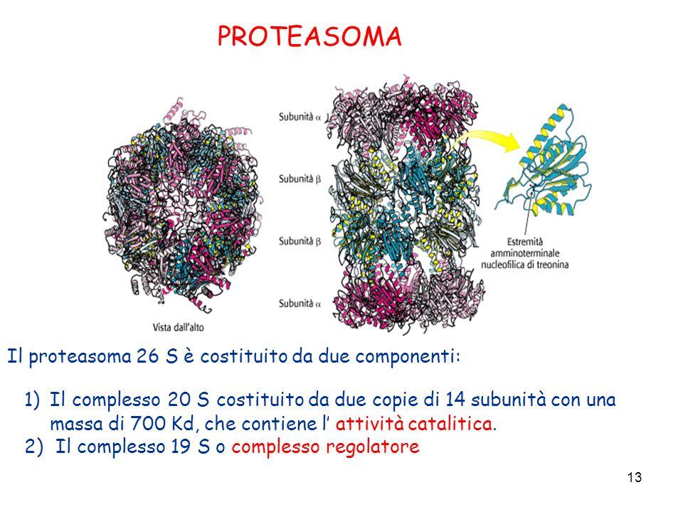 13 PROTEASOMA Il proteasoma 26 S è costituito da due componenti: 1)Il complesso 20 S costituito da due copie di 14 subunità con una massa di 700 Kd, c