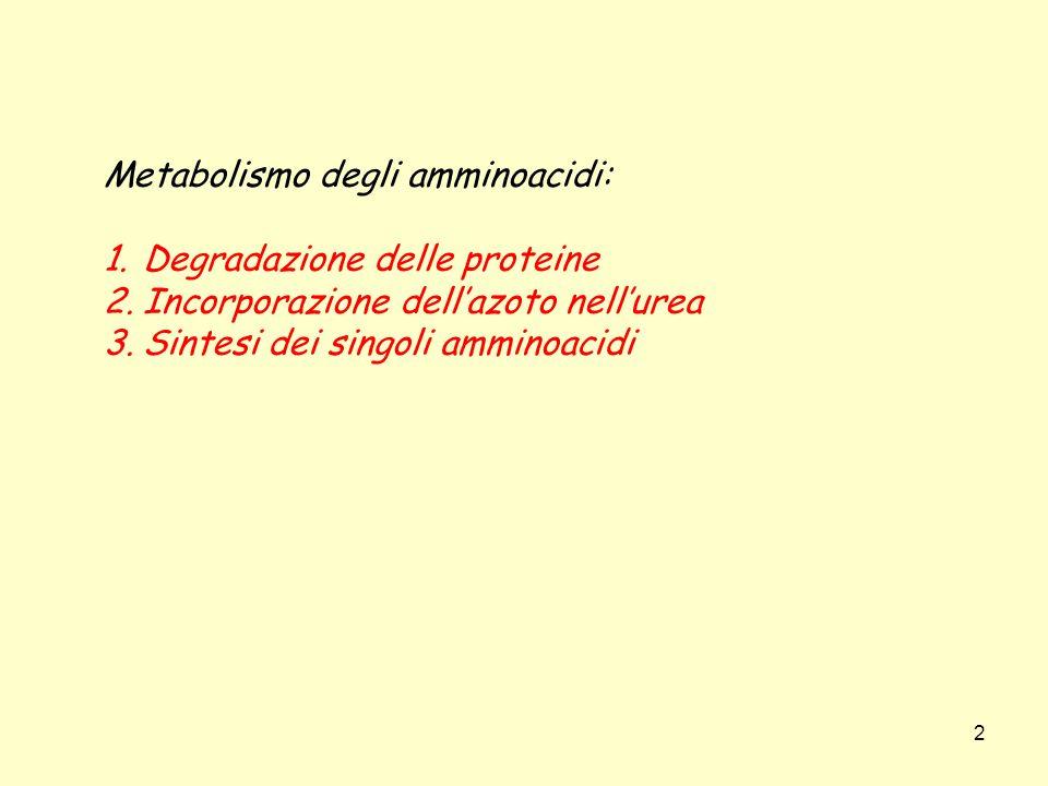 2 Metabolismo degli amminoacidi: 1.Degradazione delle proteine 2.Incorporazione dellazoto nellurea 3.Sintesi dei singoli amminoacidi