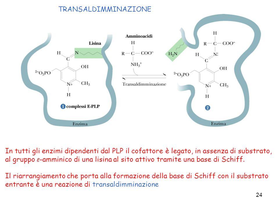 24 In tutti gli enzimi dipendenti dal PLP il cofattore è legato, in assenza di substrato, al gruppo -amminico di una lisina al sito attivo tramite una