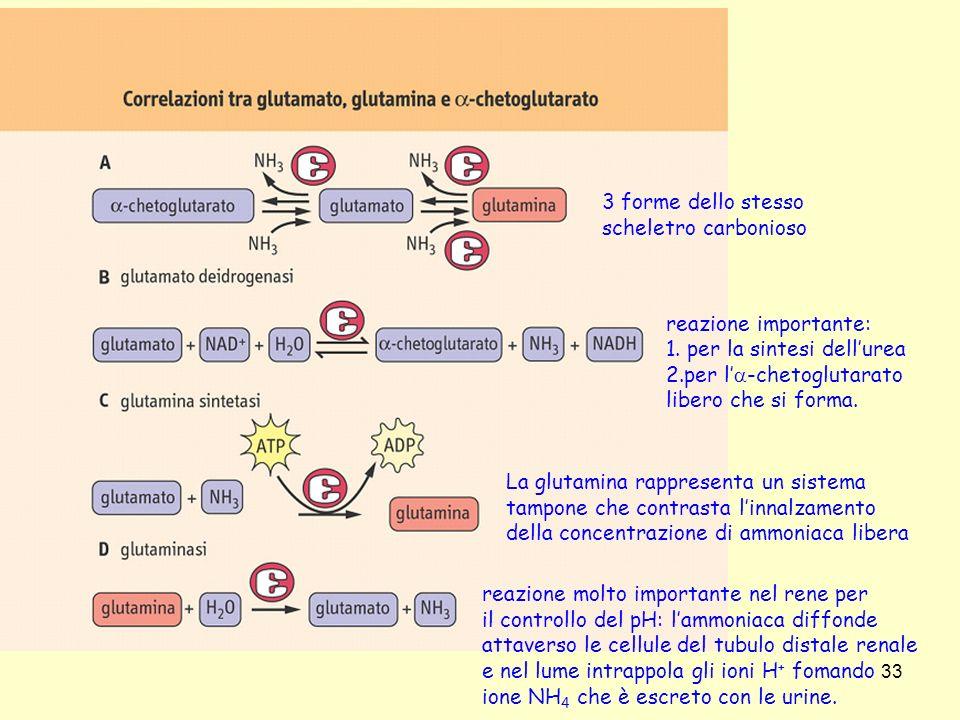 33 3 forme dello stesso scheletro carbonioso La glutamina rappresenta un sistema tampone che contrasta linnalzamento della concentrazione di ammoniaca