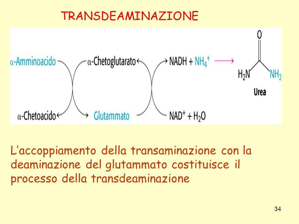 34 Laccoppiamento della transaminazione con la deaminazione del glutammato costituisce il processo della transdeaminazione TRANSDEAMINAZIONE