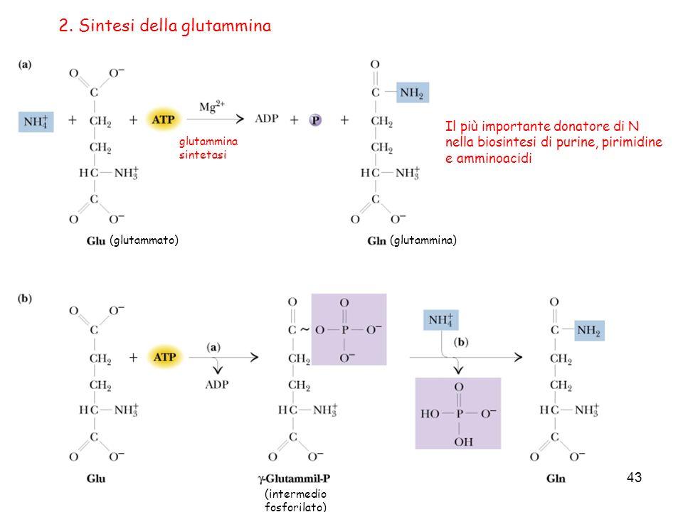 43 2. Sintesi della glutammina (glutammato)(glutammina) glutammina sintetasi (intermedio fosforilato) Il più importante donatore di N nella biosintesi