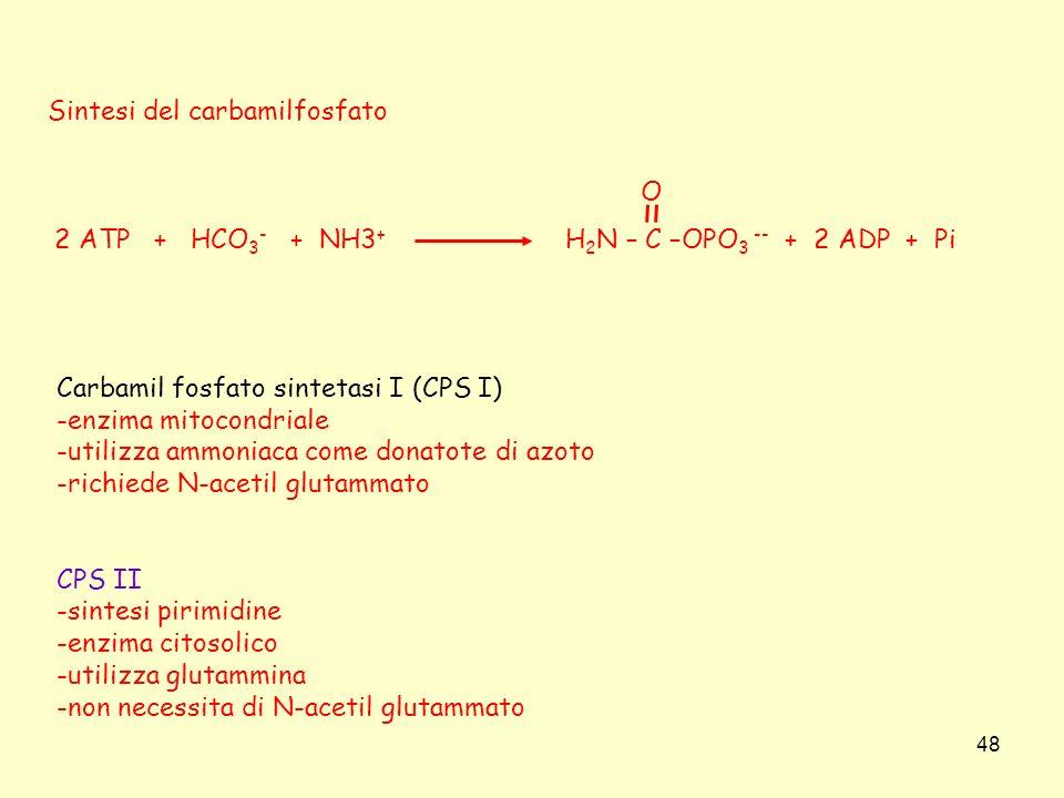 48 Sintesi del carbamilfosfato Carbamil fosfato sintetasi I (CPS I) -enzima mitocondriale -utilizza ammoniaca come donatote di azoto -richiede N-aceti