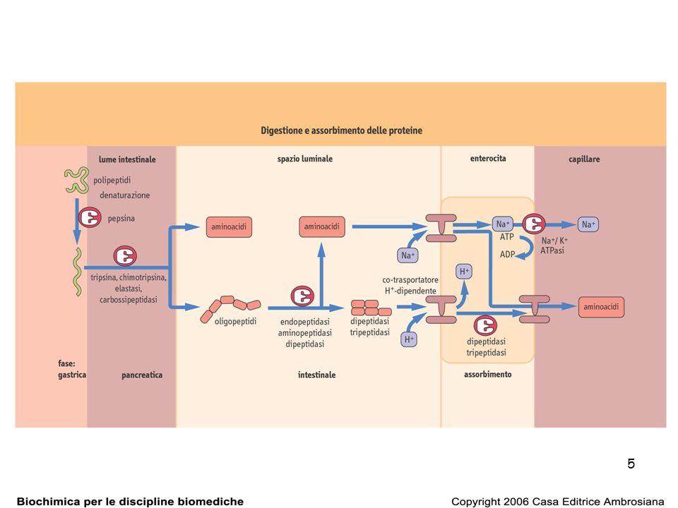 46 Il ciclo dellurea 2 reazioni nel MT + 3 reazioni nel citosol delle cellule epatiche