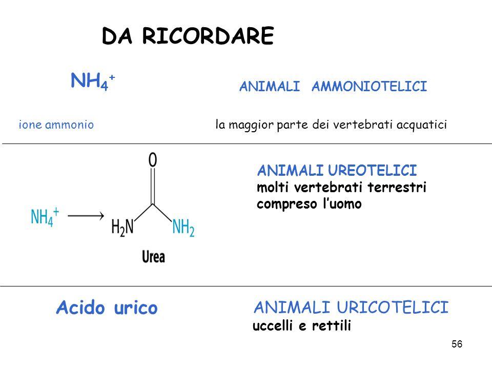56 DA RICORDARE ANIMALI UREOTELICI molti vertebrati terrestri compreso luomo Acido urico ANIMALI URICOTELICI uccelli e rettili NH 4 + ANIMALI AMMONIOT