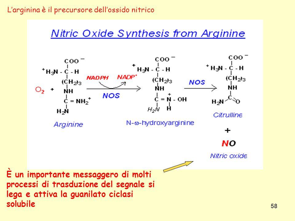 58 È un importante messaggero di molti processi di trasduzione del segnale si lega e attiva la guanilato ciclasi solubile Larginina è il precursore de