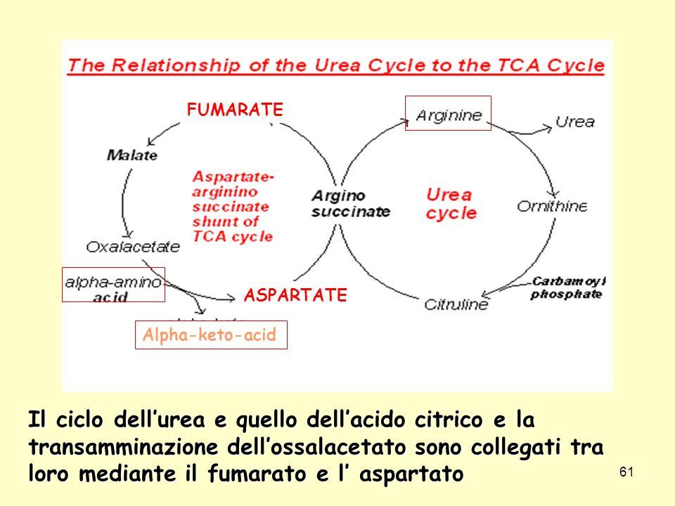 61 Il ciclo dellurea e quello dellacido citrico e la transamminazione dellossalacetato sono collegati tra loro mediante il fumarato e l aspartato ASPA