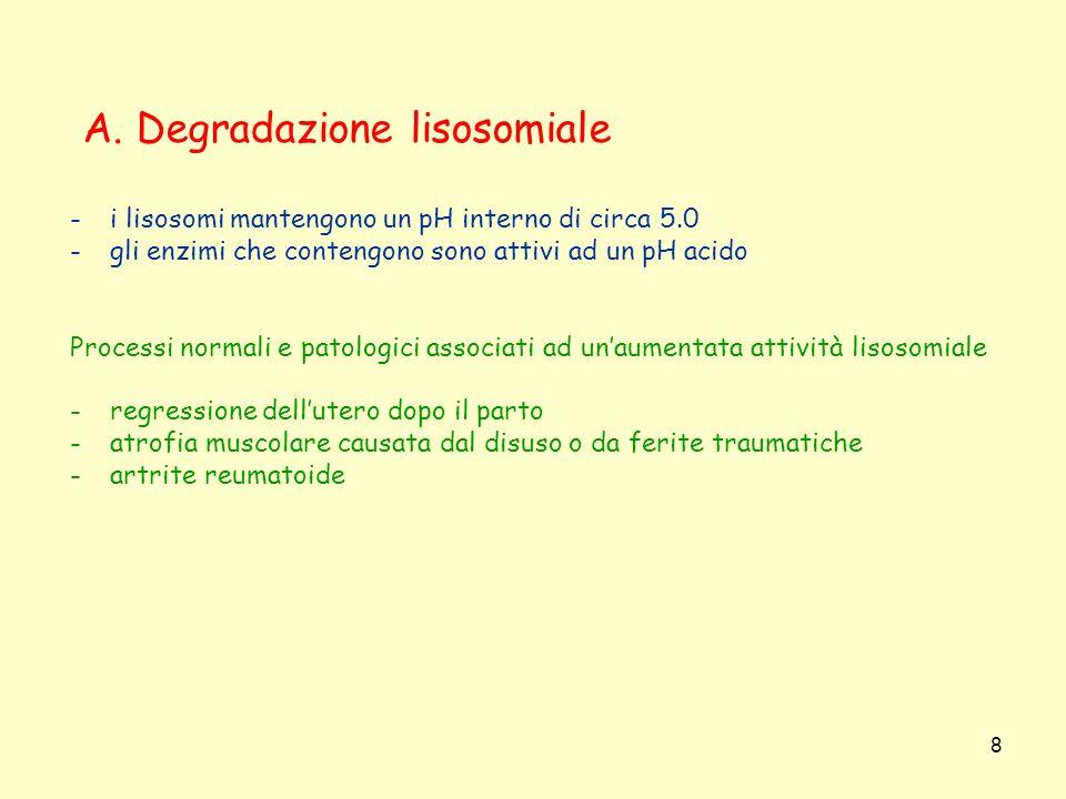 8 A. Degradazione lisosomiale -i lisosomi mantengono un pH interno di circa 5.0 -gli enzimi che contengono sono attivi ad un pH acido Processi normali