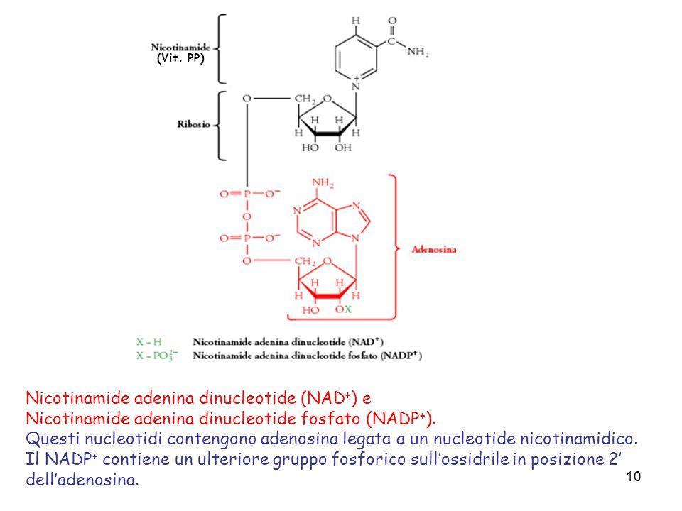 10 Nicotinamide adenina dinucleotide (NAD + ) e Nicotinamide adenina dinucleotide fosfato (NADP + ). Questi nucleotidi contengono adenosina legata a u