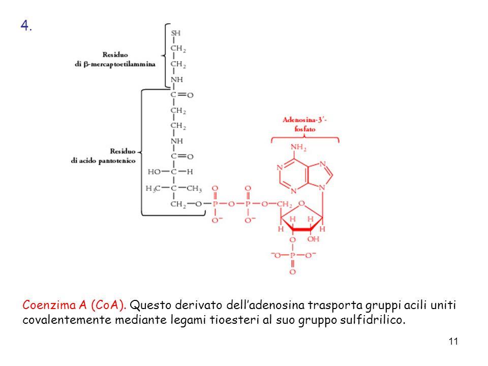 11 Coenzima A (CoA). Questo derivato delladenosina trasporta gruppi acili uniti covalentemente mediante legami tioesteri al suo gruppo sulfidrilico. 4