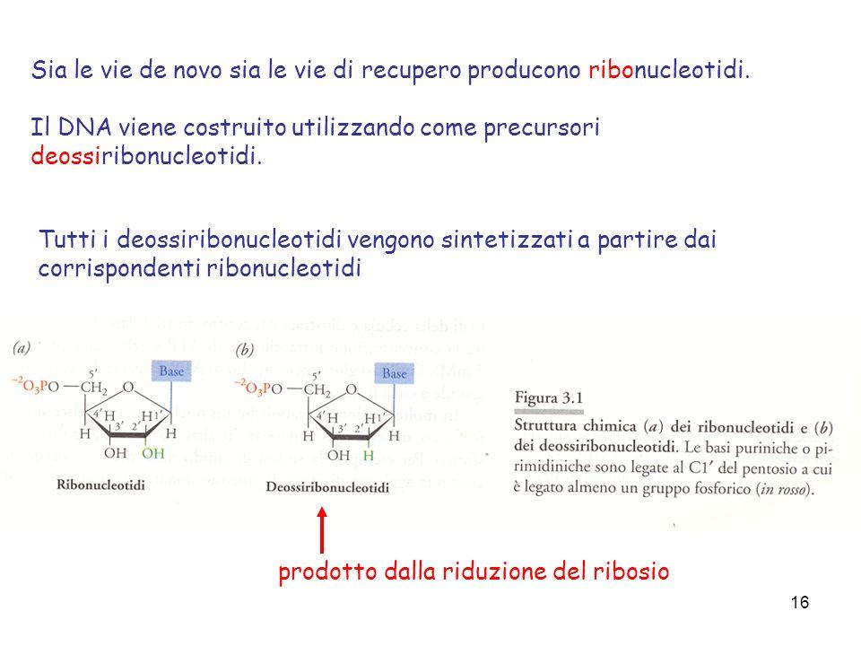 16 Sia le vie de novo sia le vie di recupero producono ribonucleotidi. Il DNA viene costruito utilizzando come precursori deossiribonucleotidi. Tutti