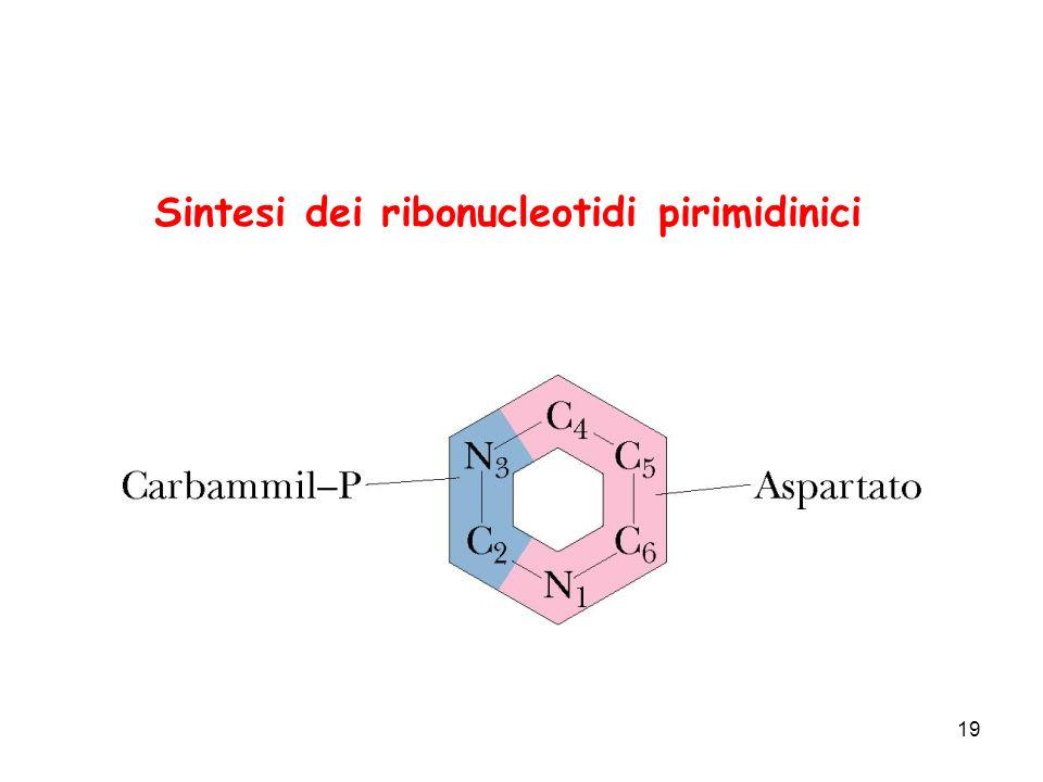 19 Sintesi dei ribonucleotidi pirimidinici