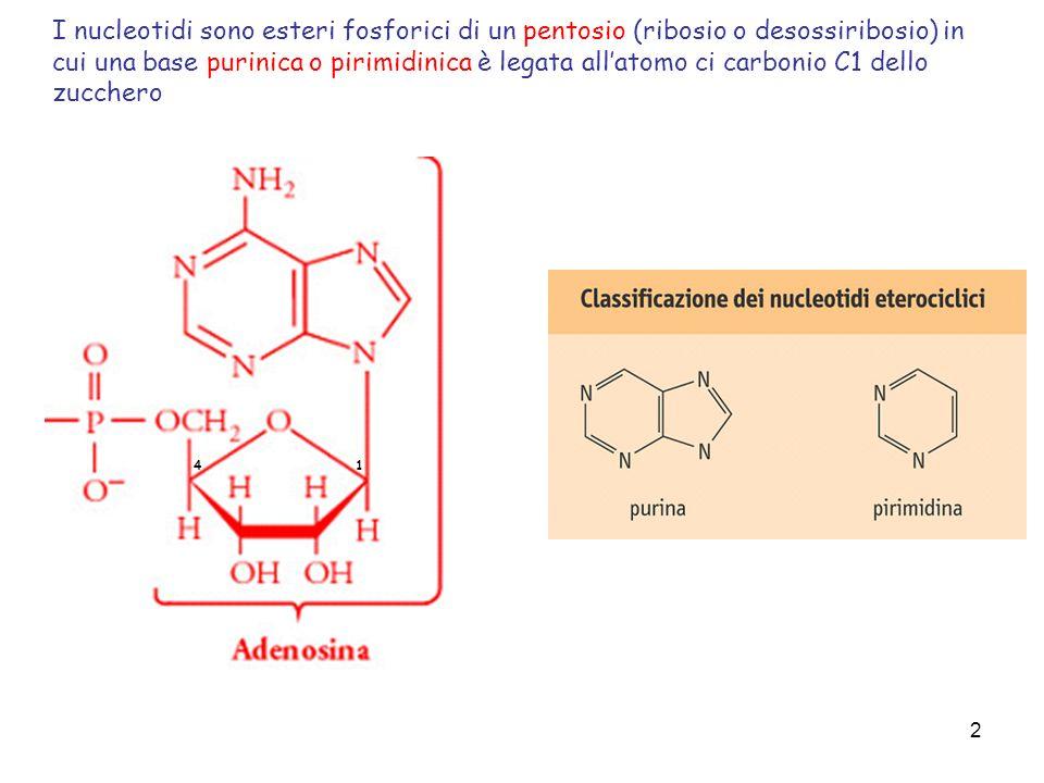 2 I nucleotidi sono esteri fosforici di un pentosio (ribosio o desossiribosio) in cui una base purinica o pirimidinica è legata allatomo ci carbonio C