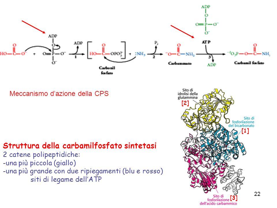 22 Meccanismo dazione della CPS Struttura della carbamilfosfato sintetasi 2 catene polipeptidiche: -una più piccola (giallo) -una più grande con due r