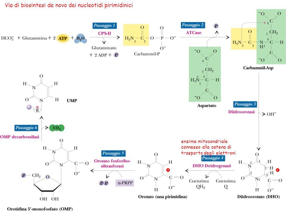 25 Via di biosintesi de novo dei nucleotidi pirimidinici enzima mitocondriale connesso alla catena di trasporto degli elettroni