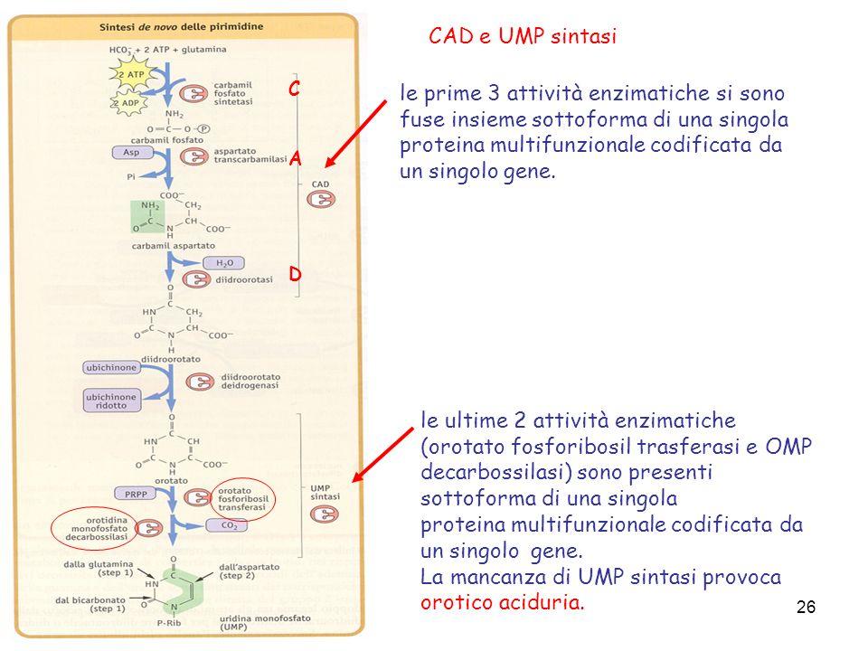26 CAD e UMP sintasi le prime 3 attività enzimatiche si sono fuse insieme sottoforma di una singola proteina multifunzionale codificata da un singolo