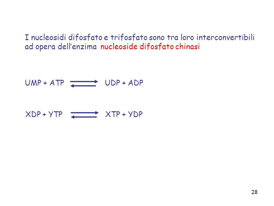 28 I nucleosidi difosfato e trifosfato sono tra loro interconvertibili ad opera dellenzima nucleoside difosfato chinasi UMP + ATPUDP + ADP XDP + YTPXT