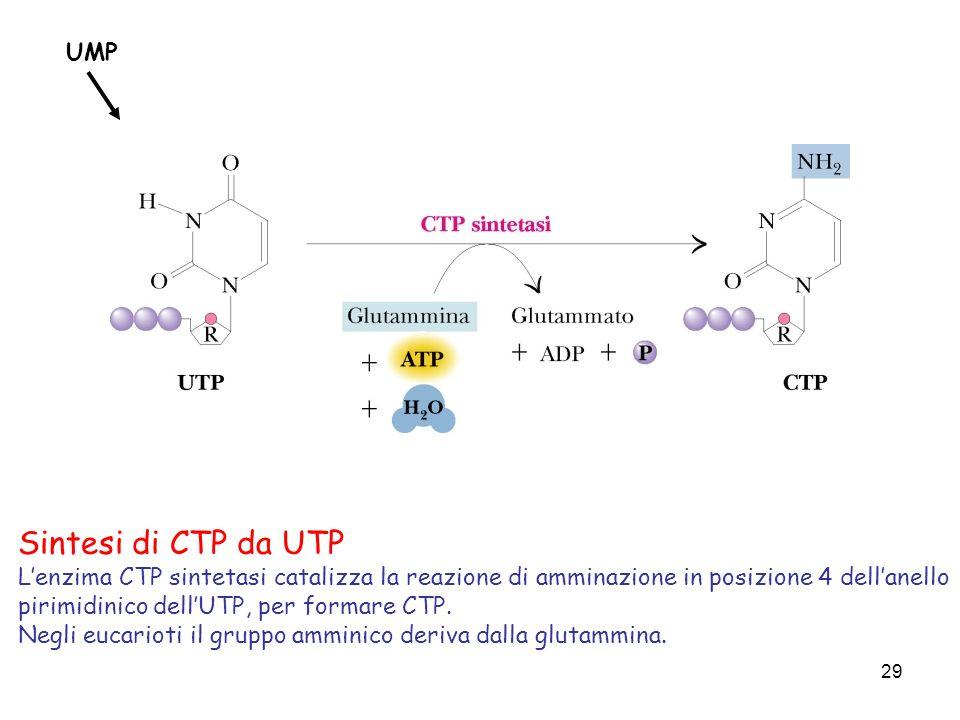 29 Sintesi di CTP da UTP Lenzima CTP sintetasi catalizza la reazione di amminazione in posizione 4 dellanello pirimidinico dellUTP, per formare CTP. N