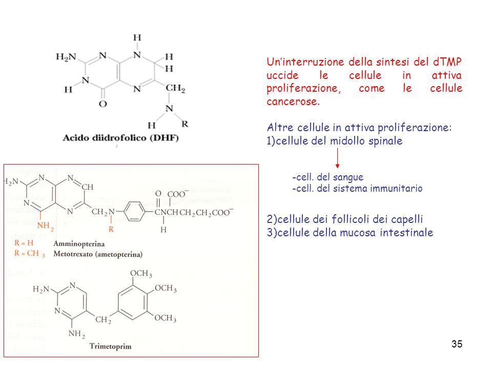 35 Uninterruzione della sintesi del dTMP uccide le cellule in attiva proliferazione, come le cellule cancerose. Altre cellule in attiva proliferazione