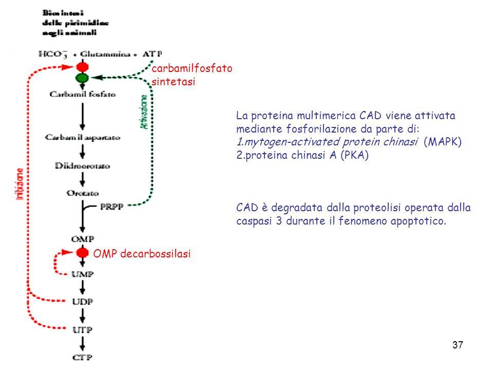 37 carbamilfosfato sintetasi OMP decarbossilasi La proteina multimerica CAD viene attivata mediante fosforilazione da parte di: 1.mytogen-activated pr