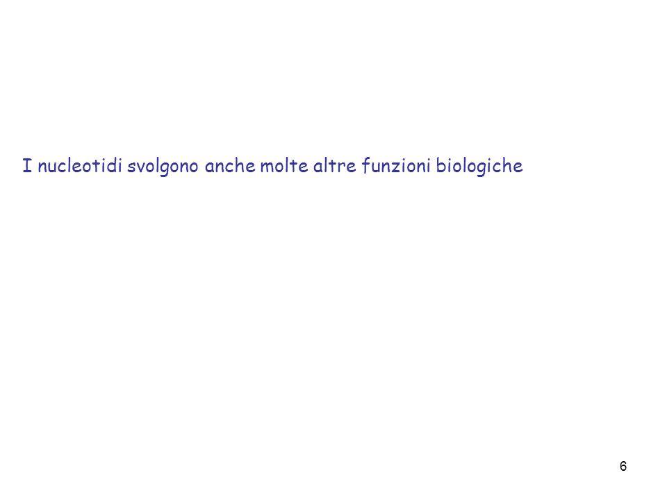 6 I nucleotidi svolgono anche molte altre funzioni biologiche