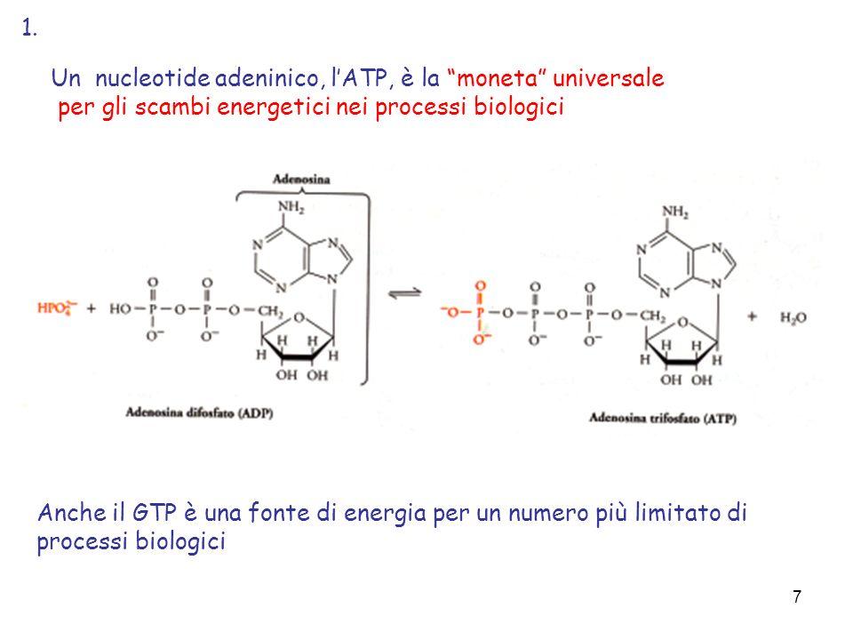 7 Un nucleotide adeninico, lATP, è la moneta universale per gli scambi energetici nei processi biologici Anche il GTP è una fonte di energia per un nu