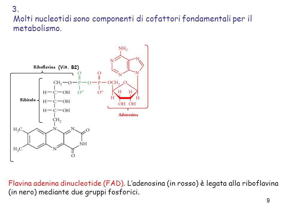 9 Flavina adenina dinucleotide (FAD). Ladenosina (in rosso) è legata alla riboflavina (in nero) mediante due gruppi fosforici. Molti nucleotidi sono c