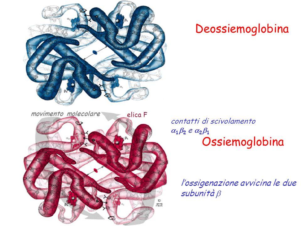 Deossiemoglobina Ossiemoglobina lossigenazione avvicina le due subunità elica F movimento molecolare contatti di scivolamento 1 2 e 2 1