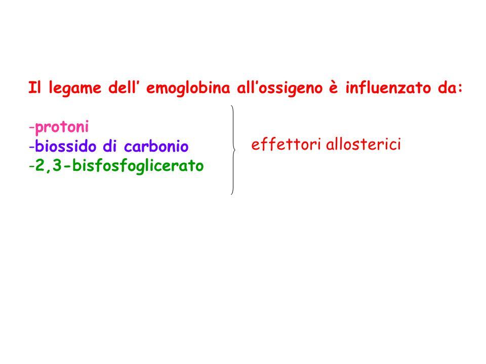 Il legame dell emoglobina allossigeno è influenzato da: -protoni -biossido di carbonio -2,3-bisfosfoglicerato effettori allosterici