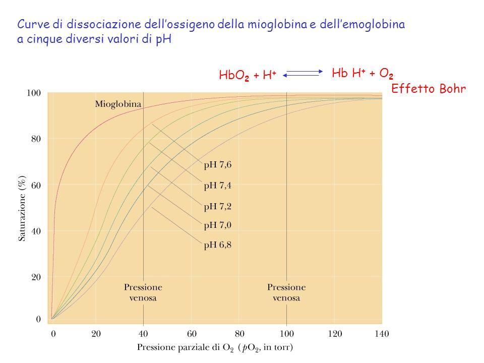 Curve di dissociazione dellossigeno della mioglobina e dellemoglobina a cinque diversi valori di pH HbO 2 + H + Hb H + + O 2 Effetto Bohr