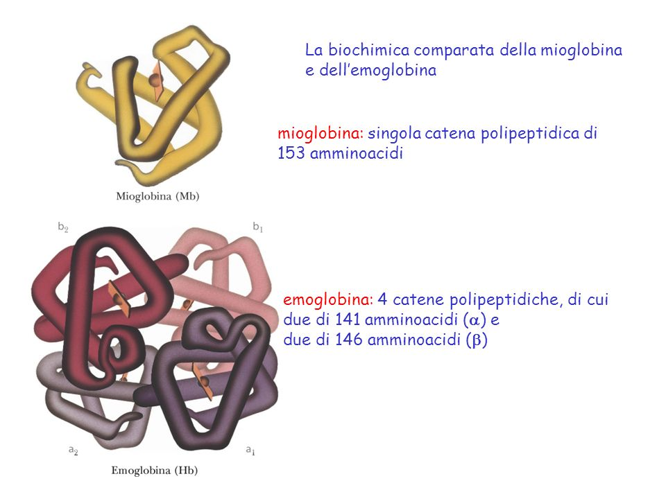 Il potere tampone dellemoglobina è dovuto a: -4 -amminogruppi degli amminoacidi N-terminali - catene laterali imidazoliche dei residui di istidina Lemoglobina possiede 38 istidine per tetramero che sono responsabili della maggior parte del potere tampone di questa proteina.