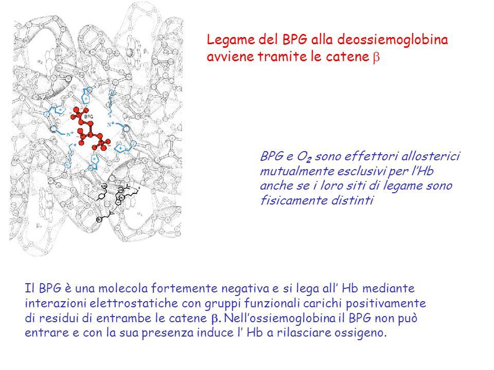 Legame del BPG alla deossiemoglobina avviene tramite le catene BPG e O 2 sono effettori allosterici mutualmente esclusivi per lHb anche se i loro siti