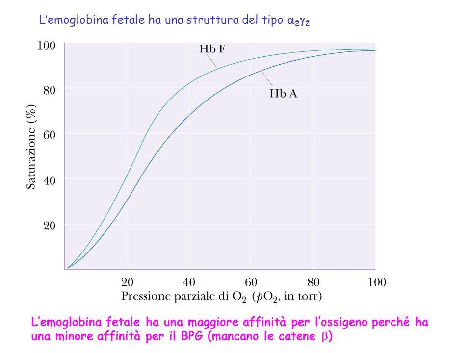 Lemoglobina fetale ha una maggiore affinità per lossigeno perché ha una minore affinità per il BPG (mancano le catene ) Lemoglobina fetale ha una stru