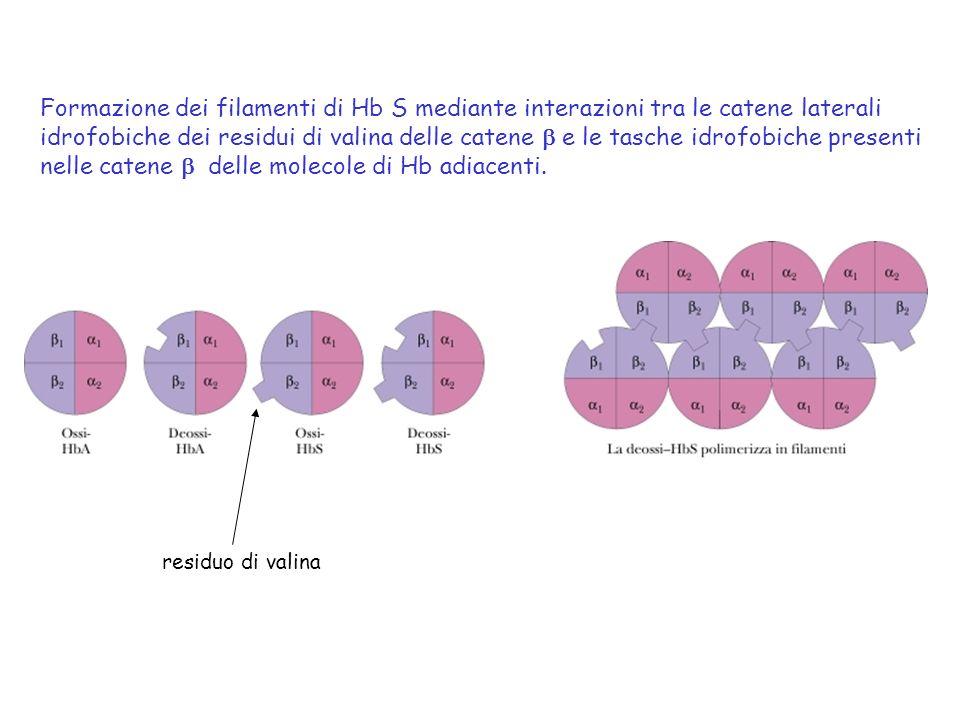 Formazione dei filamenti di Hb S mediante interazioni tra le catene laterali idrofobiche dei residui di valina delle catene e le tasche idrofobiche pr