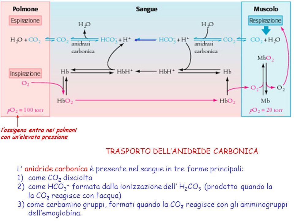 lossigeno entra nei polmoni con unelevata pressione TRASPORTO DELLANIDRIDE CARBONICA L anidride carbonica è presente nel sangue in tre forme principal