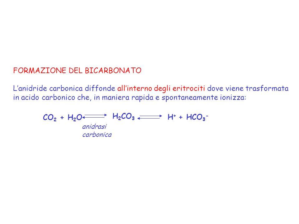 CO 2 + H 2 O H 2 CO 3 H + + HCO 3 - anidrasi carbonica FORMAZIONE DEL BICARBONATO Lanidride carbonica diffonde allinterno degli eritrociti dove viene