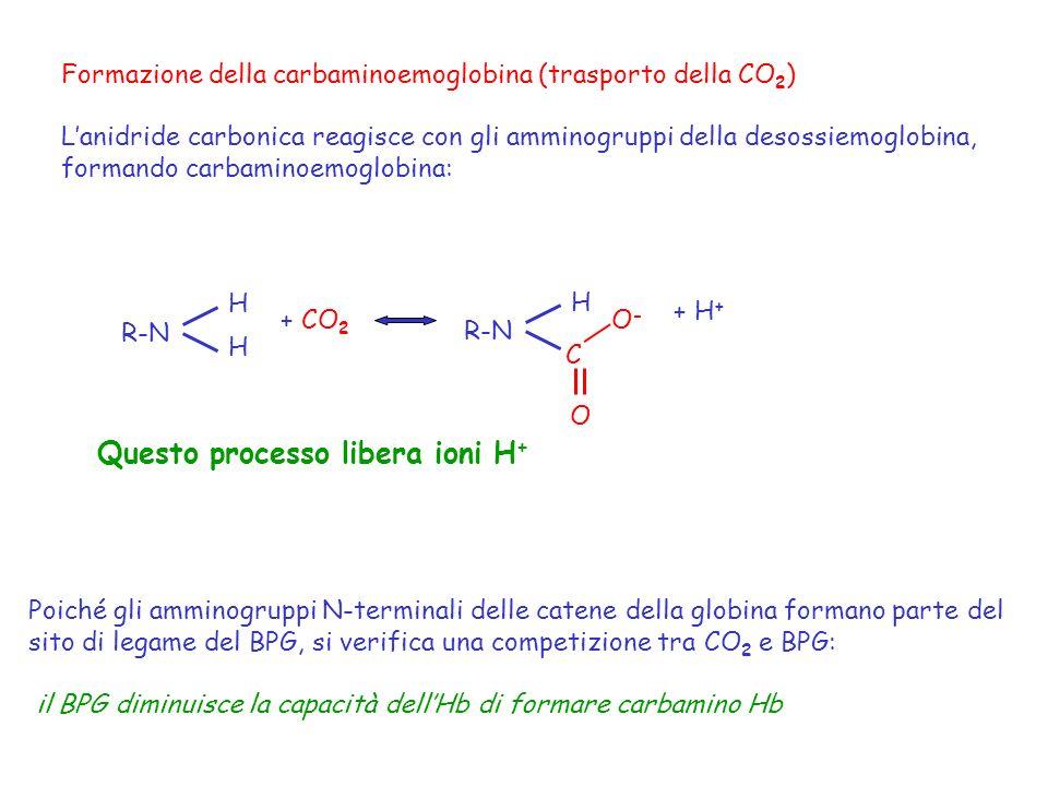 Formazione della carbaminoemoglobina (trasporto della CO 2 ) Lanidride carbonica reagisce con gli amminogruppi della desossiemoglobina, formando carba