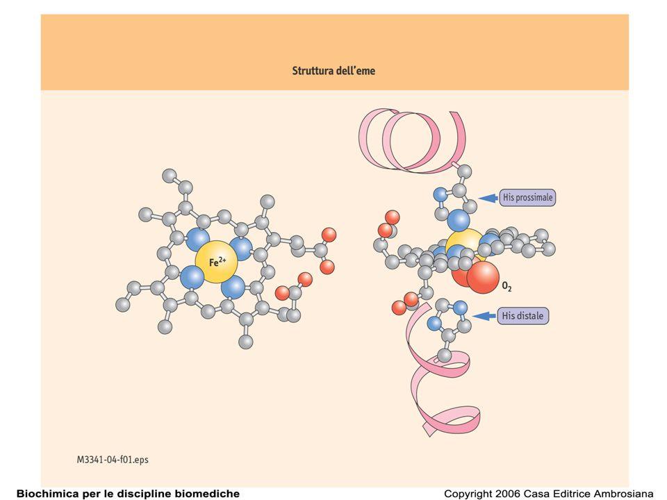 Mioglobina: la porzione polipeptidica della Mb racchiude il gruppo eme
