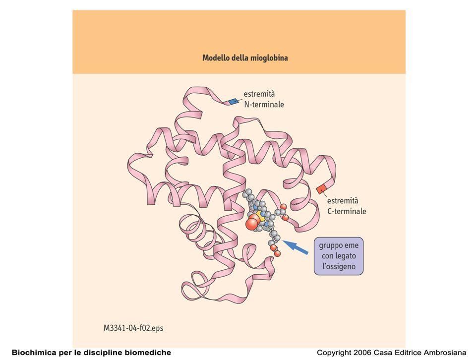 catena laterale di istidina il legame dellossigeno alla mioglobina ossimioglobina: sesto ligando ossigeno deossimioglobina: sesta posizione vuota metamioglobina: sesto ligando una molecola dacqua inclinazione di 60°