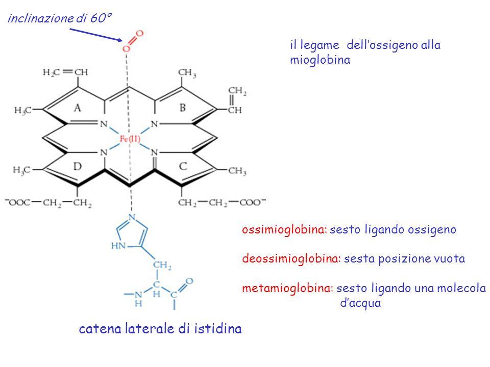 catena laterale di istidina il legame dellossigeno alla mioglobina ossimioglobina: sesto ligando ossigeno deossimioglobina: sesta posizione vuota meta