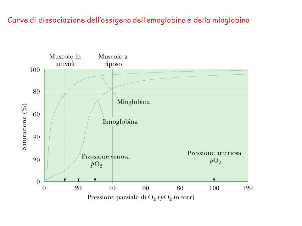 lossigeno entra nei polmoni con unelevata pressione TRASPORTO DELLANIDRIDE CARBONICA L anidride carbonica è presente nel sangue in tre forme principali: 1)come CO 2 disciolta 2)come HCO 3 - formata dalla ionizzazione dell H 2 CO 3 (prodotto quando la la CO 2 reagisce con lacqua) 3) come carbamino gruppi, formati quando la CO 2 reagisce con gli amminogruppi dellemoglobina.