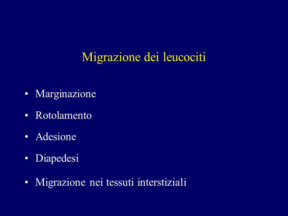 Migrazione dei leucociti Marginazione Rotolamento Adesione Diapedesi Migrazione nei tessuti interstiziali