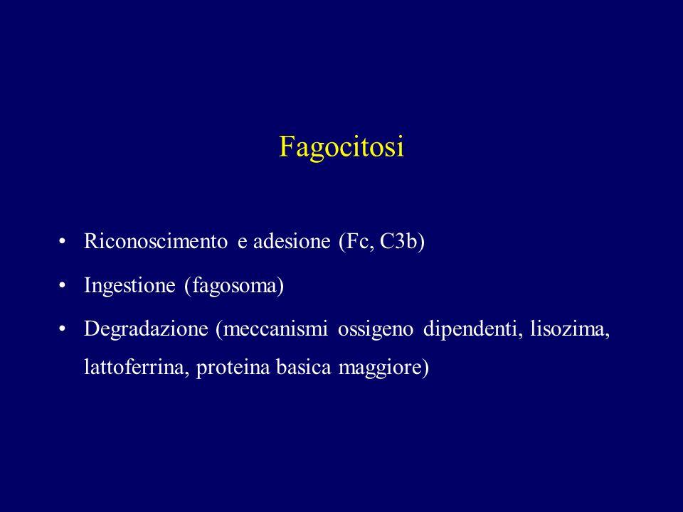 Fagocitosi Riconoscimento e adesione (Fc, C3b) Ingestione (fagosoma) Degradazione (meccanismi ossigeno dipendenti, lisozima, lattoferrina, proteina ba