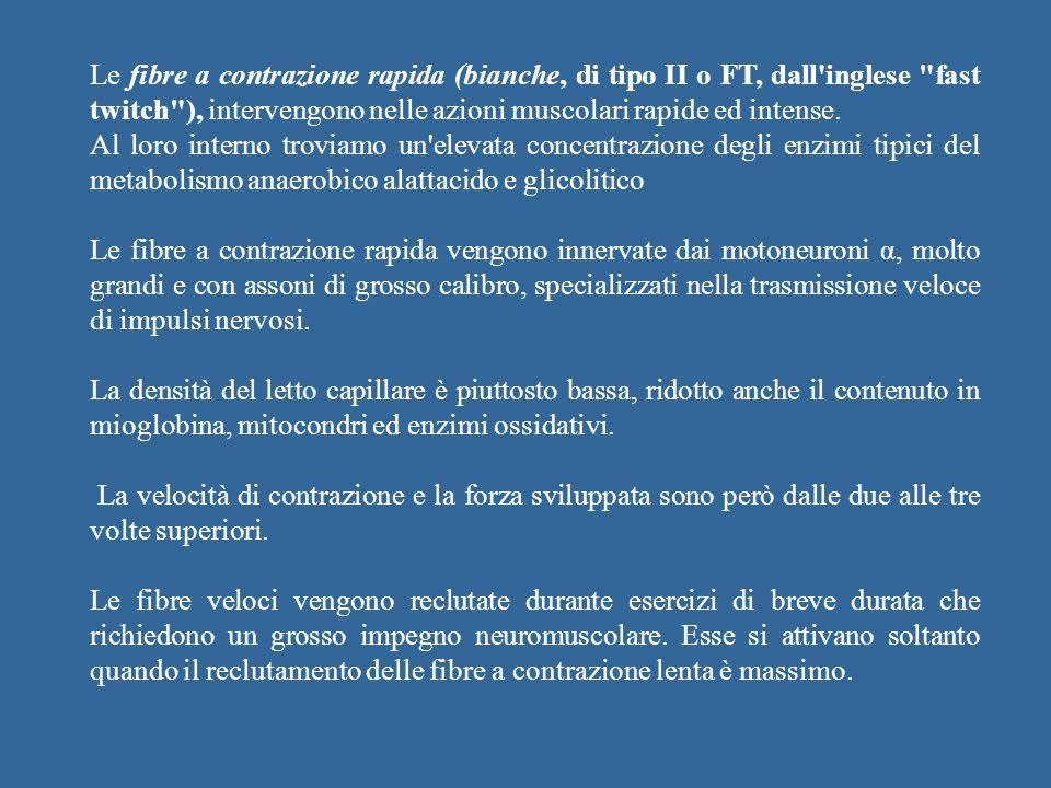 Le fibre a contrazione rapida (bianche, di tipo II o FT, dall'inglese