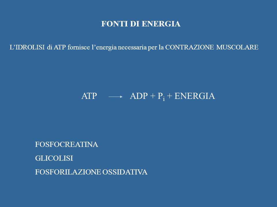FONTI DI ENERGIA LIDROLISI di ATP fornisce lenergia necessaria per la CONTRAZIONE MUSCOLARE ATPADP + P i + ENERGIA FOSFOCREATINA GLICOLISI FOSFORILAZI