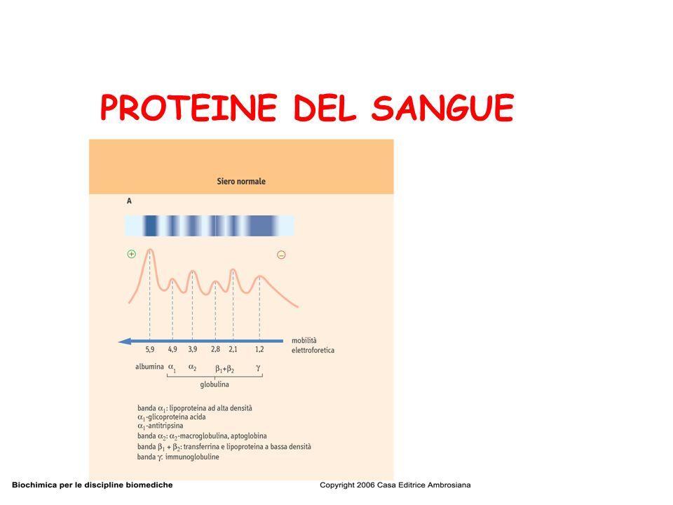 Funzioni delle proteine del sangue: 1.Funzioni nutrizionali 2.Regolazione dellequilibrio acido base 3.Ripartizione dellacqua nei vari distretti 4.Funzione di trasporto 5.Coagulazione 6.Funzione immunitaria 7.Attività enzimatiche