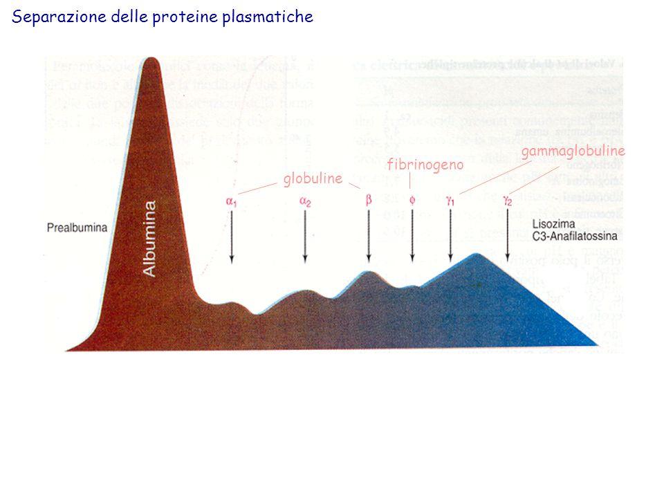 Confronto dei profili elettroforetici di un siero normale e di uno contenente immunoglobuline monoclonali.