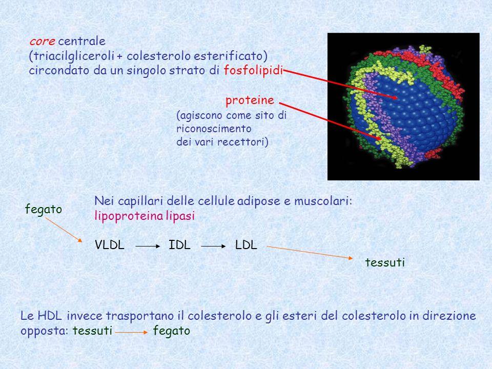 I coaguli sono dissolti dalla plasmina questa proteasi rimuove le estremità C-terminali e N-terminali, producendo domini D e E isolati che sono solubili nel flusso sanguigno.
