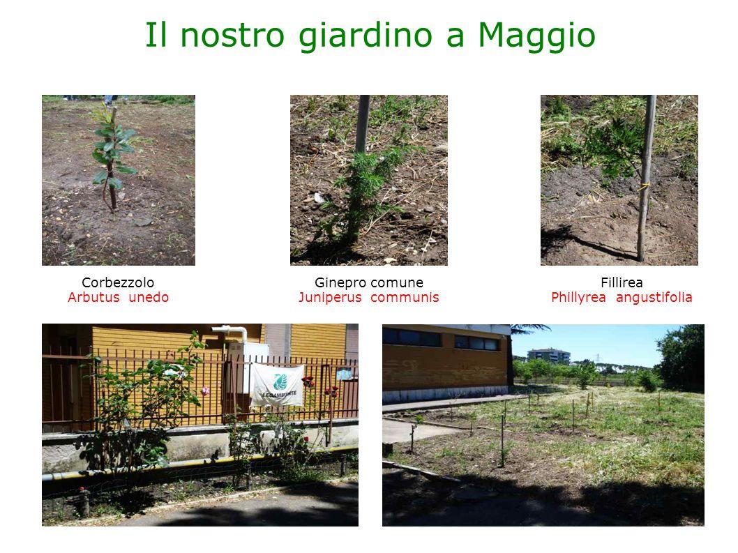 Il nostro giardino a Maggio Corbezzolo Arbutus unedo Ginepro comune Juniperus communis Fillirea Phillyrea angustifolia